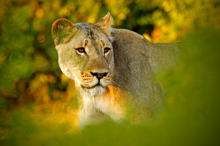 Hidden portrait of lion female. African lion, Panthera leo, detail portrait of big animal, evening sun, Chobe National Park, Botswana, South Africa. Lion hidden in the green leaves. Stock Photo