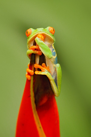 Wildlife Costa Rica. Beautiful frog in forest, exotic animal from central America, red flower. Red-eyed Tree Frog, Agalychnis callidryas, animal with big red eyes, in the nature habitat, Costa Rica.  Stock Photo