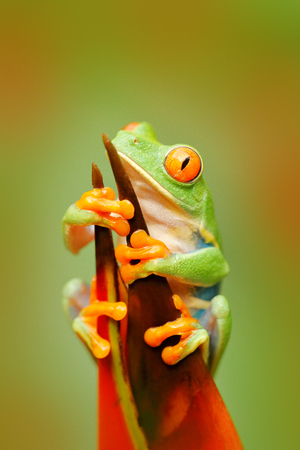 Frog in the nature. Beautiful frog in forest, exotic animal from central America, red flower. Red-eyed Tree Frog, Agalychnis callidryas, animal with big red eyes, in the nature habitat, Costa Rica.