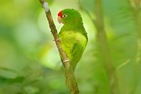 Crimson-fronted Parakeet, Aratinga funschi, portrait of light green parrot with red head, Costa Rica. Portrait of bird. Wildlife scene from tropic nature. Parrot from Costa Rica. Parakket in habitat. Stock Photo