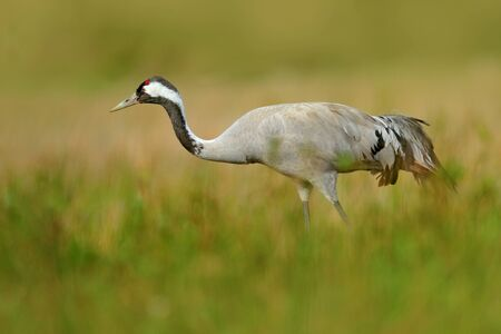 Crane in the green grass. Wildlife scene from Europe. Grey bird with long neck. Travelling in Sweden. Common Crane, Grus grus, big bird in the nature habitat, Lake Hornborga, Sweden.  Stock Photo