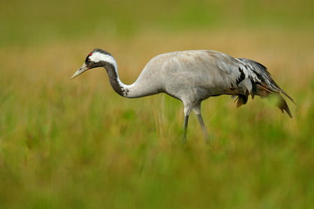 Common Crane, Grus grus, big bird in the nature habitat, Lake Hornborga, Sweden. Crane in the green grass. Wildlife scene from Europe. Grey bird with long neck. Travelling in Sweden.