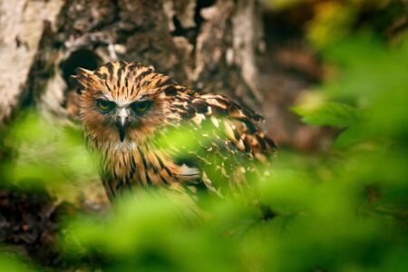 Buffy Fish-owl, Ketupa ketupu, rare bird from Asia. Malaysia beautiful owl in the nature forest habitat. Bird from Malaysia. Fish owl sitting on the branch in the green tropic forest.  写真素材