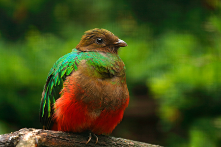 Golden-headed Quetzal, Pharomachrus auriceps, Magnificent sacred green and red bird. Detail portrait Quetzal from Colombia with blurred green forest background. Tropic bird in habitat, South America.