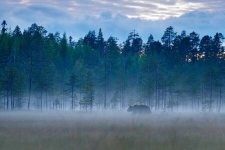 Foggy forest with brown bear in fog. Bear hidden in forest. Autumn forest with animal. Beautiful brown bear walking around lake with autumn colours. Dangerous animal, nature forest and meadow habitat.