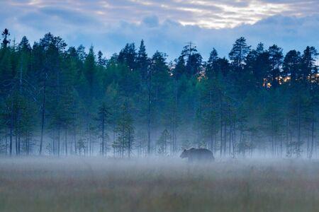 Mistig bos met bruine beer in mist. Draag verborgen in het bos. Herfst bos met dieren. Mooie bruine beer die rond meer met de herfstkleuren loopt. Gevaarlijk dier, natuurbos en weidehabitat.