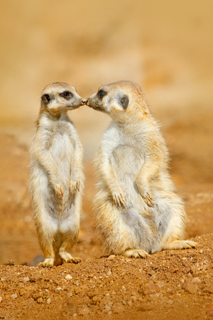 Animal love, kiss in nature. Animal family. Funny image from Africa nature. Cute Meerkat, Suricata suricatta, sitting on the stone. Sand desert with small mammals. Meerkat from Namibia, Africa.