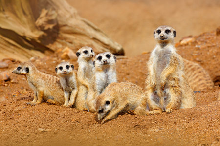 Big Animal family. Funny image from Africa nature. Cute Meerkat, Suricata suricatta, sitting on the stone. Sand desert with small mammals. Meerkat from Namibia, Africa. Meerkat family in habitat. Stock Photo