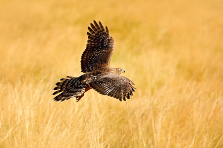 Wildlife scene from nature. Animal in the wood. Flying bird of prey Goshawk, Accipiter gentilis, with yellow summer meadow in the background, bird in the nature habitat, action scene, German.  Stock Photo