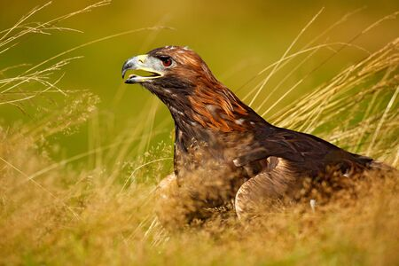 Portrait of Golden Eagle, sitting in the brown grass. Wildlife scene from nature. Summer day in the meadow. Eagle with open bill. Brow big bird hidden in the grass. Stock Photo