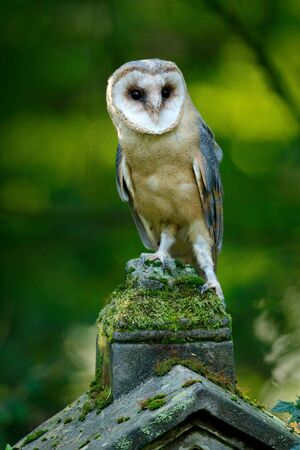 Magic bird barn owl, Tito alba, sitting on stone fence in forest cemetery. Wildlife scene form nature. Animal behaviour in forest. Bird in the forest. Owl in nature habitat. Stock Photo