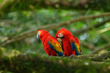 Pair of big parrot Scarlet Macaw, Ara macao, two birds sitting on branch, Costa rica. Wildlife love scene from tropic forest nature. Two beautiful parrot on tree branch, nature habitat. Red bird love.