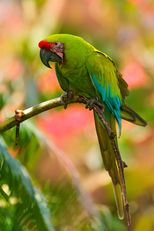 Great-green Macaw, Ara ambigua. Wild rare bird in the nature habitat. Green big parrot sitting on the branch. Parrot from Costa Rica. Wild parrot bird, green and pink flower habitat.