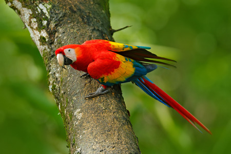 Wildlife in Costa Rica. Parrot Scarlet Macaw, Ara macao, in green tropical forest, Costa Rica, Wildlife scene from tropic nature. Red bird in the forest.  스톡 콘텐츠
