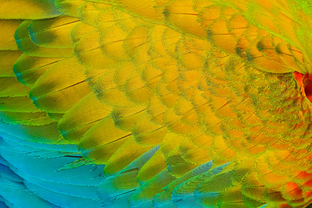 Close-up detail of parrot plumage. Scarlet Macaw, Ara macao, detail of wing, nature Costa Rica. Standard-Bild - 94831714