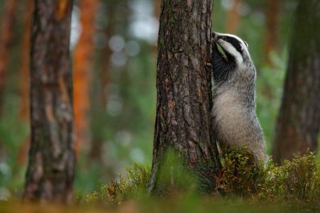 숲, 동물 자연 서식지, 독일, 유럽에서에서 오소리. 야생 동물 장면. 야생 오소리, Meles meles, 나무에있는 동물. 유럽 오소리, 가을 소나무 녹색 숲. 포유 스톡 콘텐츠
