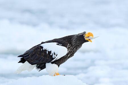 Wildlife action behaviour scene from nature. Fish in bill. Eagle on ice. Winter Japan, snow. Beautiful Stellers sea eagle, Haliaeetus pelagicus, bird with catch fish, with white snow, Hokkaido, Japan. Stock Photo