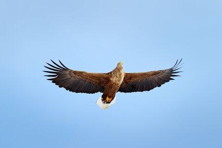 White-tailed eagle, Haliaeetus albicilla, big bird of prey on thy dark blue sky, with white tail, Japan. Action wildlife scene from sky. Wildlife scene. Flying bird. Big bird of prey on the sky.