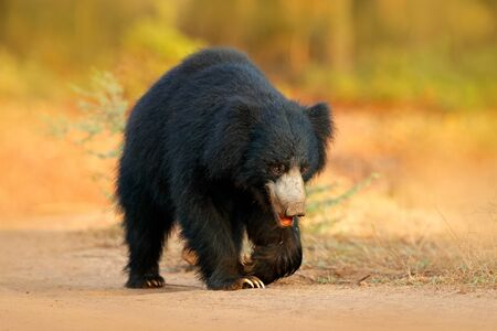 Sloth bear, Melursus ursinus, Ranthambore National Park, India. Wild Sloth bear staring directly at camera, wildlife photo. Dangerous animal in India. Wildlife Asia. Animal on the road.