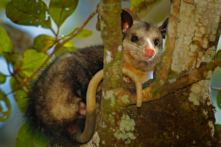 Opossum, Didelphis marsupialis, wild nature, Mexico. Wildlife animal scene from nature. Rare animal on the tree. Common Opossum, green vegetation, animal in the habitat. Tropic junge, Central America. Stock Photo