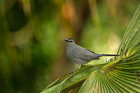 Gray catbird, Dumetella carolinensis, birdwatching in Central America.  Forest animal. Wildlife scene from nature, Belize. Grey bird in the nature habitat. Tanager sitting on the green palm tree. Stock Photo