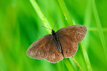 Wild beautiful butterfly, Aphantopus hyperantus, Ringlet, sitting on the green leaves, insect in the nature habitat, spring in the meadow, European wildlife, Czech republic. Spring on the meadow.