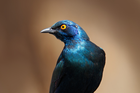 Beautiful shiny bird in the green forest. Cape Glossy Starling, Lamprotornis nitens, sitting on the tree branch in the nature habitat. Glossy Starling from the Kenya.  Stock Photo