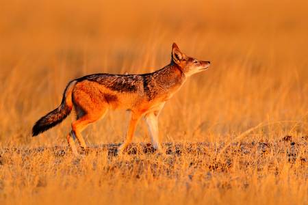 Jackal with evening sun. Black-Backed Jackal, Canis mesomelas mesomelas, portrait with long ears, Namibia, South Africa. Beautiful wildlife scene from Africa with nice nice sun light. Jackal in grass.