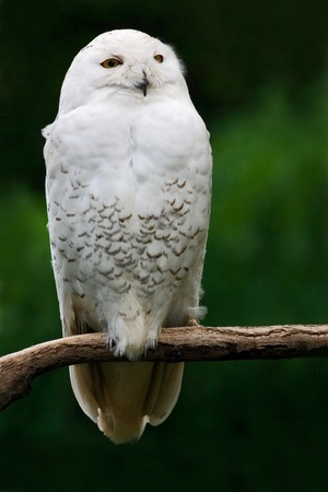 Snowy owl, bird with yellow eyes sitting in tree trunk, in the nature habitat, Sweden. White bird with dark green background. Stockfoto