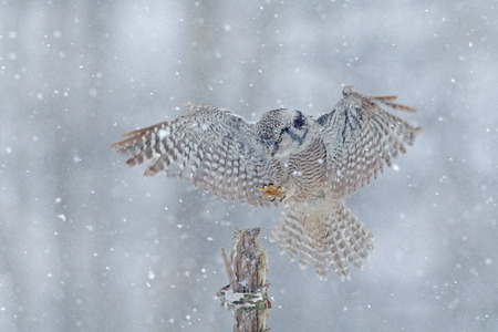 Hawk Owl in fly with snowflake during cold winter. Wildlife scene from nature. Storm with flight bird. Owl with open wings from Finland. Nature of north Europe. Snow winter scene with flying owl.