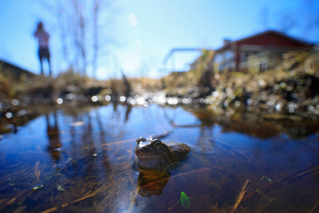 European Common Frog, Rana temporaria in the water. wide angle lens with man and house. Nature habitat, summer day in Finland. Stock Photo