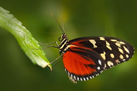 자연 서식 지에서 나비 Heliconius Hacale zuleikas. 녹색 숲에서 코스타리카에서 좋은 곤충. 나비는 파나마에서 휴가에 앉아. 핑 꽃과 나비. 숲에서 야생 동물 스톡 콘텐츠