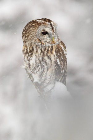 Winter scene with owl. Animal with cold snow and forest. Tawny Owl, snow covered bird in snowfall during winter, nature habitat, Norway.