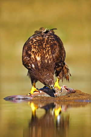 Eagle with fish. White-tailed Eagle, Haliaeetus albicilla, feeding kill fish in the water, with brown grass in background, Norway.