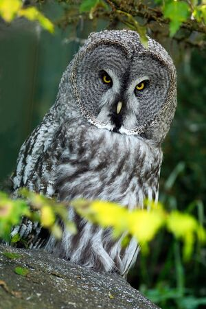Great grey owl, Strix nebulosa, sitting on old tree trunk with grass, portrait with yellow eyes.
