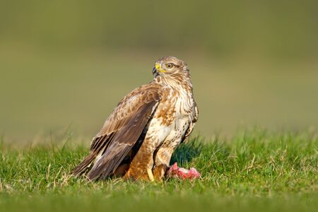 Bird of pray Common Buzzard, Buteo buteo, sitting in the grass with blurred green forest in background. Stock Photo