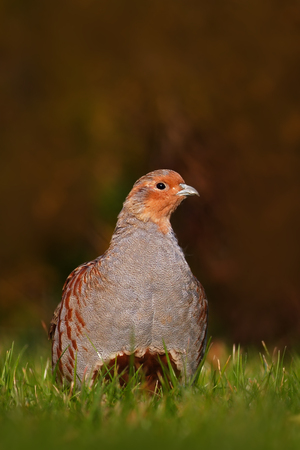 Grey partridge, Perdix perdix, bird sitting in the green grass. Stock Photo - 94982118