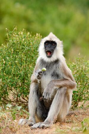 Common Langur, Semnopithecus entellus, monkey with fruit in the mouth Stock Photo