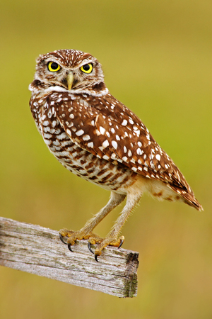 Burrowing Owl, Athene cunicularia, sitting in wooden cross in Cape Coral, Florida, USA. Stock Photo