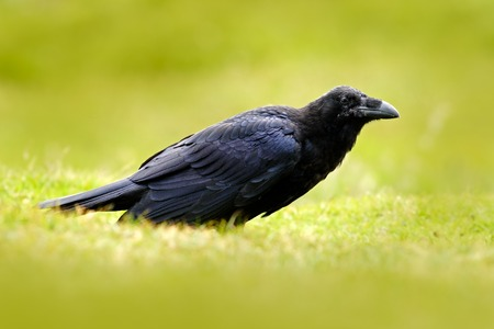 Black bird raven in the green grass. Stock Photo