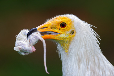 Detail portrait of bird of prey with catch, little mouse. Egyptian Vulture, Neophron percnopterus, with kill mouse. Stock Photo