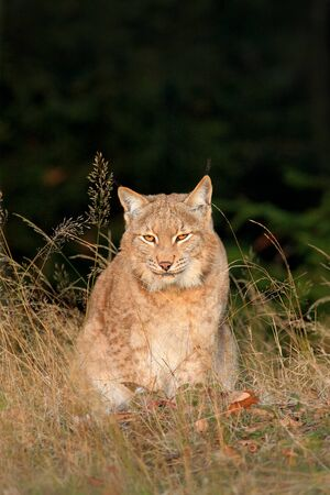 Eurasian Lynx in the field, hidden in the grass.