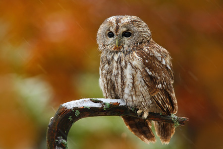Autumn orange forest. Tawny owl in the forest with tit bird in the talon. Brown owl sitting on tree stump in the dark forest habitat with catch. Beautiful animal with food. Bird in the Norway forest. Standard-Bild