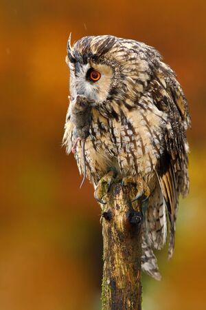 Tawny owl in the forest with mouse in the talon. Brown owl sitting on tree stump in the dark forest habitat with catch. Beautiful animal with food. Action autumn nature scene. Bird in Finland forest.
