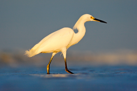 Heron with sun in the morning sunrise. Snowy Egret, Egretta thula, in the coast habitat. Bird with the dark blue sea. Heron in the water. Bird with morning sun, Costa Rica. First light with bird.  Stock Photo