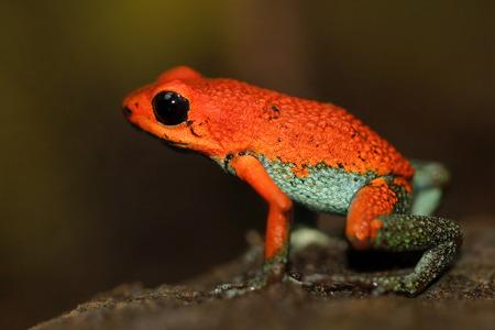 Red Poisson frog Granular poison arrow frog, Dendrobates granuliferus, in the nature habitat. Imagens