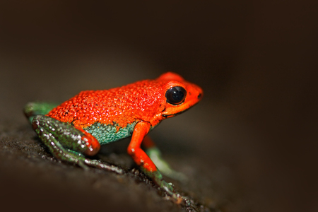 Red Poisson frog Granular poison arrow frog, Dendrobates granuliferus. Stock Photo