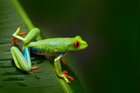 Red-eyed Tree Frog, Agalychnis callidryas, animal with big red eyes, in the nature habitat, Costa Rica. Frog in the nature. Beautiful frog in forest.