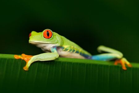 Beautiful exotic animal from Central America. Red-eyed Tree Frog, Agalychnis callidryas, animal with big red eyes, in the nature habitat, Panama. Stock Photo