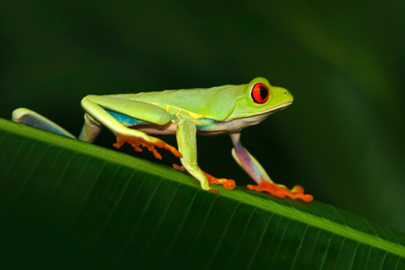 Red-eyed Tree Frog, Agalychnis callidryas, animal with big red eyes, in the nature habitat, Costa Rica. Beautiful exotic animal from Central America.